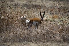 Antilope americana Buck Stare di Pronghorn fotografie stock libere da diritti