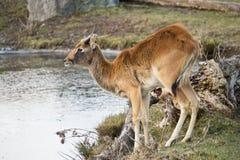 Antilope assetata Immagini Stock Libere da Diritti