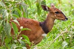 antilope autour de tête de mouche de bushbuck sien Images libres de droits