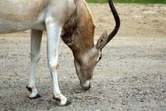 Antilope bianca dello screwhorn dell'antilope del Addax fotografie stock libere da diritti