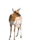 antilope blackbuck θηλυκό cervicapra Στοκ Εικόνα