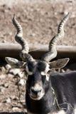 antilope blackbuck cervicapra Στοκ φωτογραφία με δικαίωμα ελεύθερης χρήσης