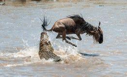 Antilope Blauwe het meest wildebeest (connochaetes taurinus) heeft, aan een aanval van een krokodil ondergaan stock foto's