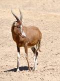 Antilope blesbok Lizenzfreie Stockfotografie