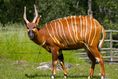 Antilope-Blickkontakt Stockbilder