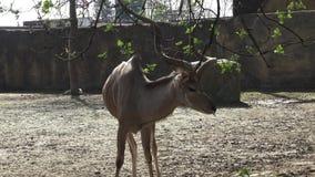 Antilope bonito filme