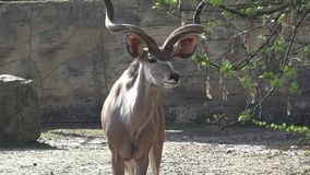 Antilope bonito video estoque