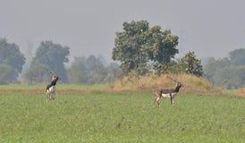 (Antilope cervicapra) Blackbuck, India antylopa w polu/ Zdjęcie Royalty Free