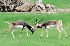 Antilope cervicapraBlackbuckin meadow fighting. At the zoo ,Thailand royalty free stock photo