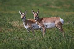 Antilope che esamina il fotografo immagini stock