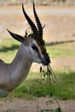 Antilope che gioca con l'alimento Immagine Stock Libera da Diritti