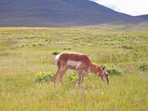 Antilope che pasce Fotografia Stock Libera da Diritti