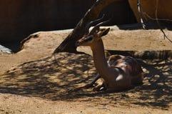 Antilope che si trova nell'ombra Immagine Stock Libera da Diritti