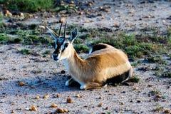 Antilope che si trova sulla terra in Africa sul safari. Fotografia Stock
