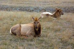 Antilope che si trova in un campo nel Canada del Nord Fotografia Stock
