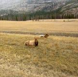 Antilope che si trova in un campo nel Canada del Nord Fotografia Stock Libera da Diritti
