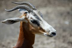 Antilope. Close up portrait image Stock Photography