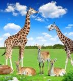 Antilope con le giraffe Fotografia Stock