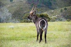 Antilope cornuta Fotografie Stock Libere da Diritti