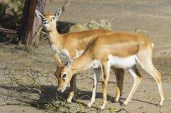 Antilope cornuta Fotografie Stock