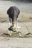 Antilope cornuta Immagini Stock