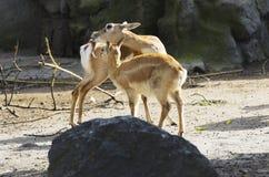 Antilope cornuta Fotografia Stock