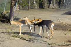 Antilope cornuta Immagine Stock