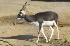 Antilope cornuta Fotografia Stock Libera da Diritti
