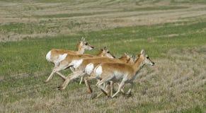 Antilope corrente Fotografia Stock
