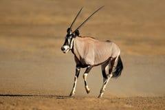Antilope corrente del gemsbok Immagine Stock