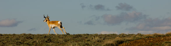 Antilope corrente nel Nevada \ 'il deserto di rocce nero di s Fotografia Stock