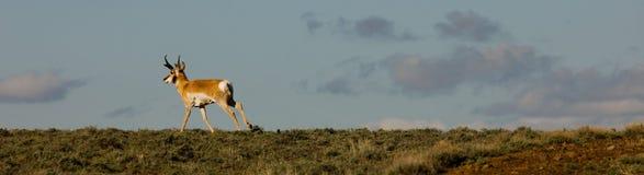 Antilope courante au Nevada \ 'le désert noir de roche de s photographie stock
