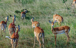 Antilope crowd in Kenya, Africa. Antilope crowd in Masai Mara National Park in  Kenya, Africa Royalty Free Stock Photos