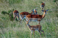 Antilope crowd in Kenya, Africa. Antilope crowd in Masai Mara National Park in  Kenya, Africa Royalty Free Stock Images