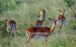 Antilope crowd in Kenya, Africa. Antilope crowd in Masai Mara National Park in  Kenya, Africa Royalty Free Stock Image