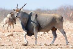 Antilope d'éland Photos stock