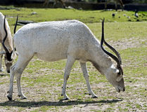 Antilope d'addax Photos stock