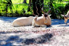 Antilope d'addax Images stock