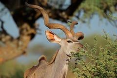 Antilope d'alimentazione di kudu - Sudafrica Immagini Stock
