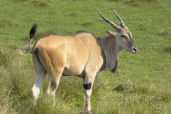 Antilope d'Eland Photos stock