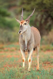Antilope d'Eland Image stock