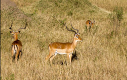 Antilope d'Eland Images stock