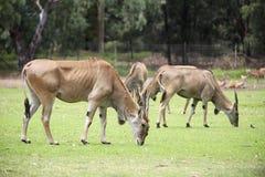 Antilope d'Eland Images libres de droits