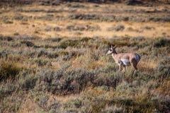 Antilope dans la faune Photo stock