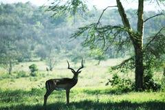 Antilope dans la forêt Photo stock