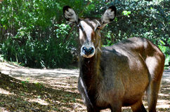 Antilope dans la forêt Image stock