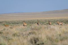 Antilope dans le désert photographie stock