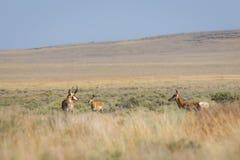Antilope dans le désert images libres de droits