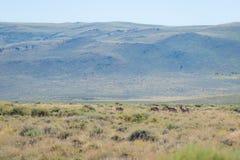 Antilope dans le désert photos libres de droits