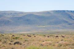 Antilope dans le désert photographie stock libre de droits